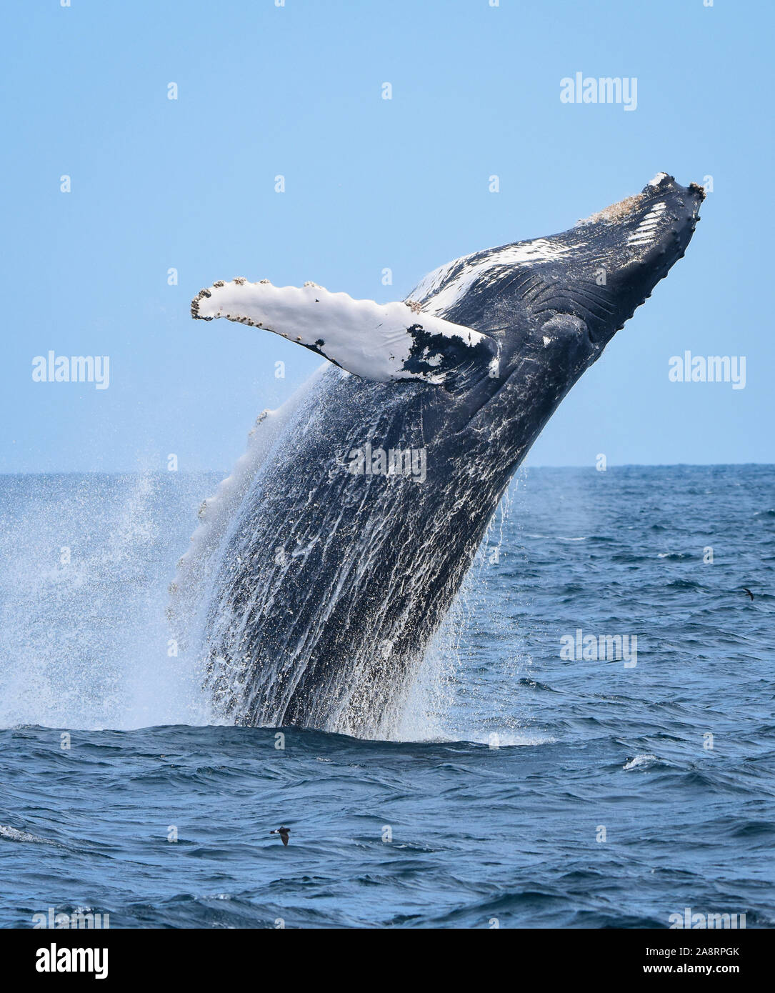 A breaching humpback whale leaps out of the ocean with a splash as water streaming off him falls back to the sea. Stock Photo