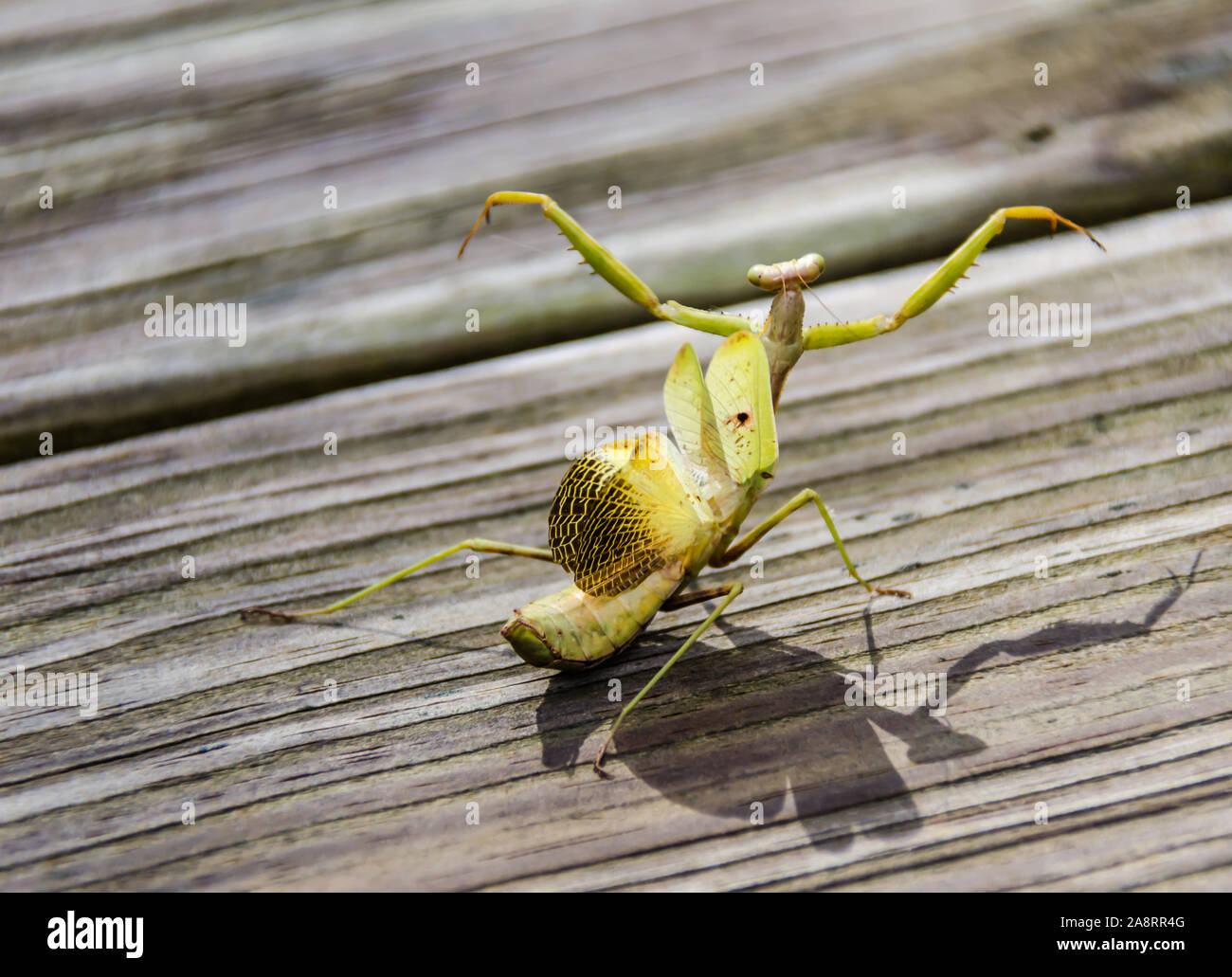Praying Mantis Wings High Resolution Stock Photography And Images