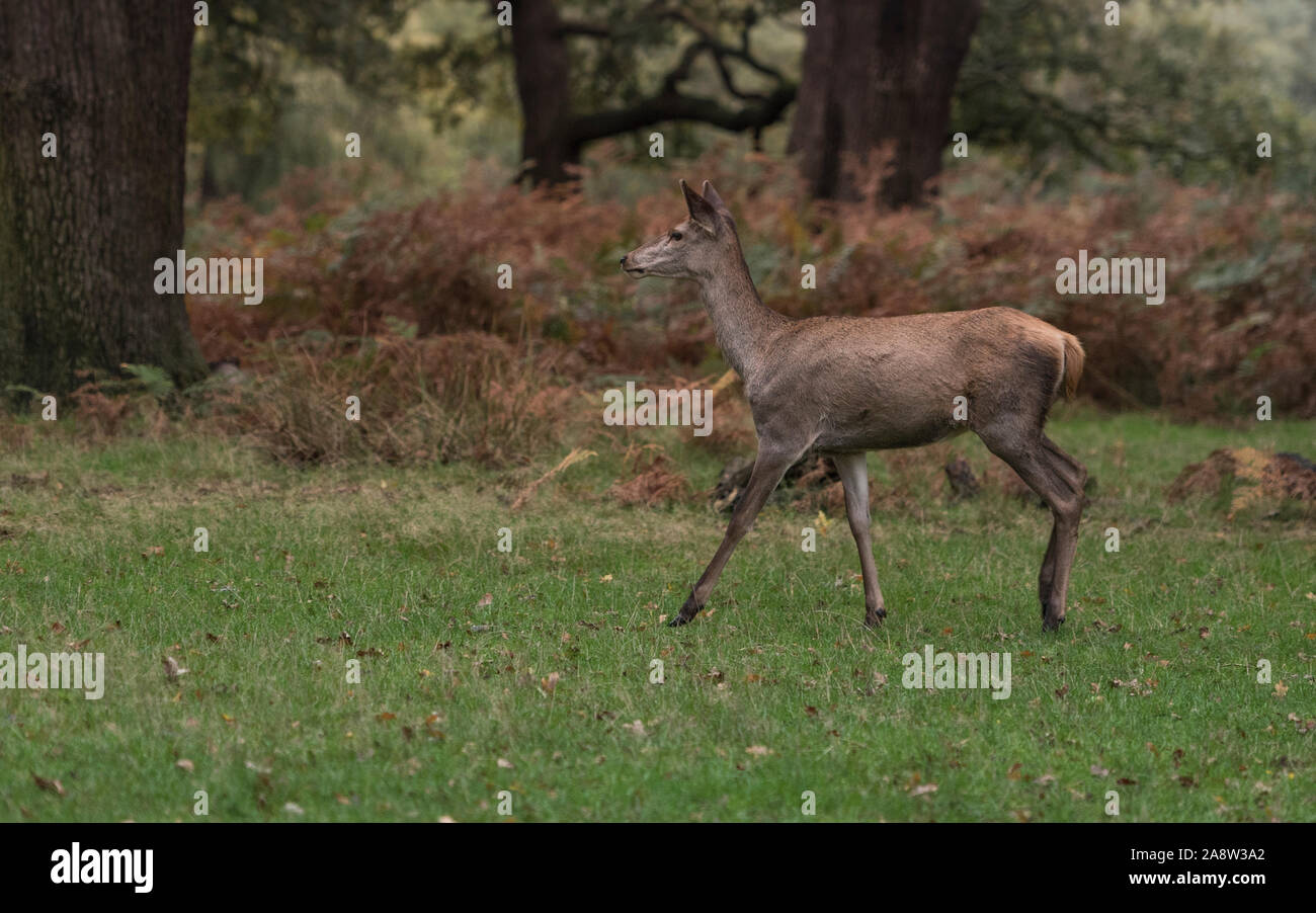 Oh my Deer! Red and fallow deer in rutting season in Richmond Park, London. Stock Photo