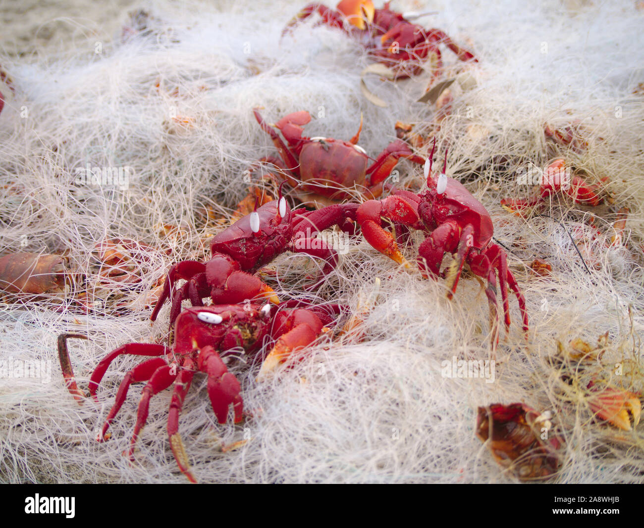 Red Ghost Crabs stuck in a disused fishing net discarded on Cox's Bazar Beach Stock Photo