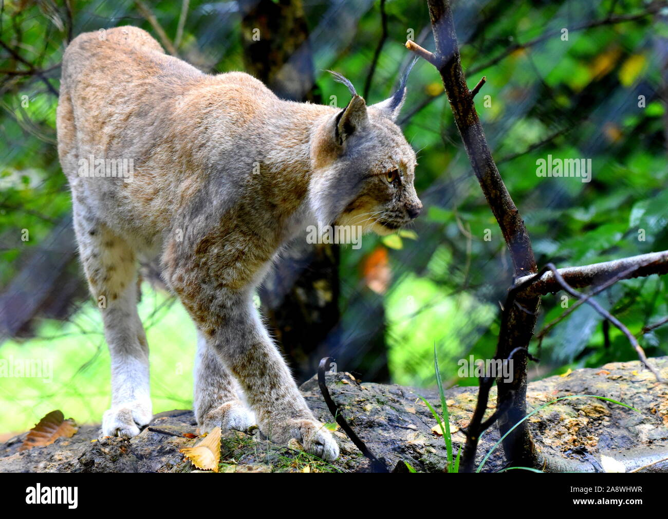 Lynx in forest Stock Photo