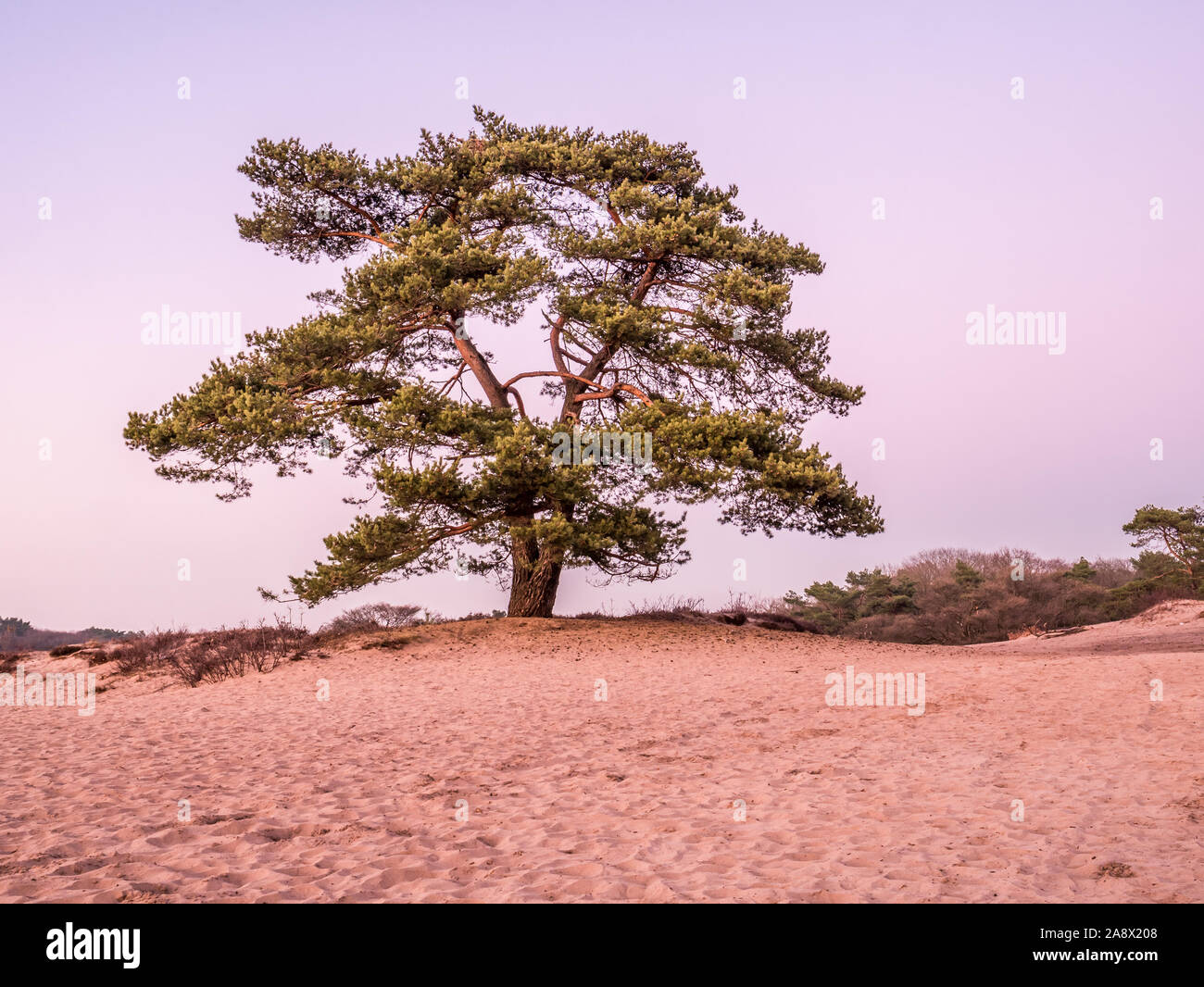 Solitary Scots pine tree, Pinus sylvestris, in sand dunes of heathland at dusk, Goois Nature Reserve, Netherlands Stock Photo