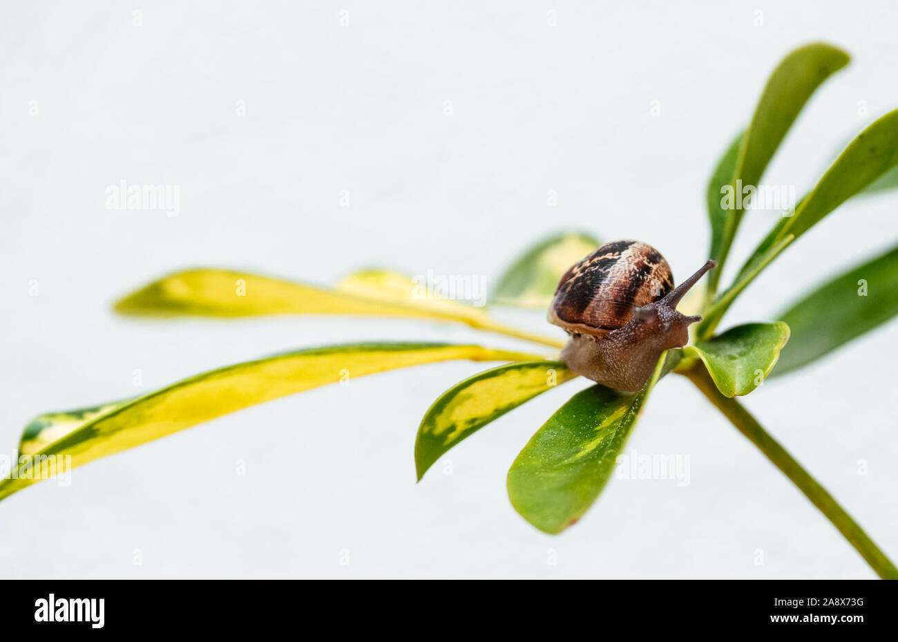 Common garden snail crawling on green leaf of plant Stock Photo