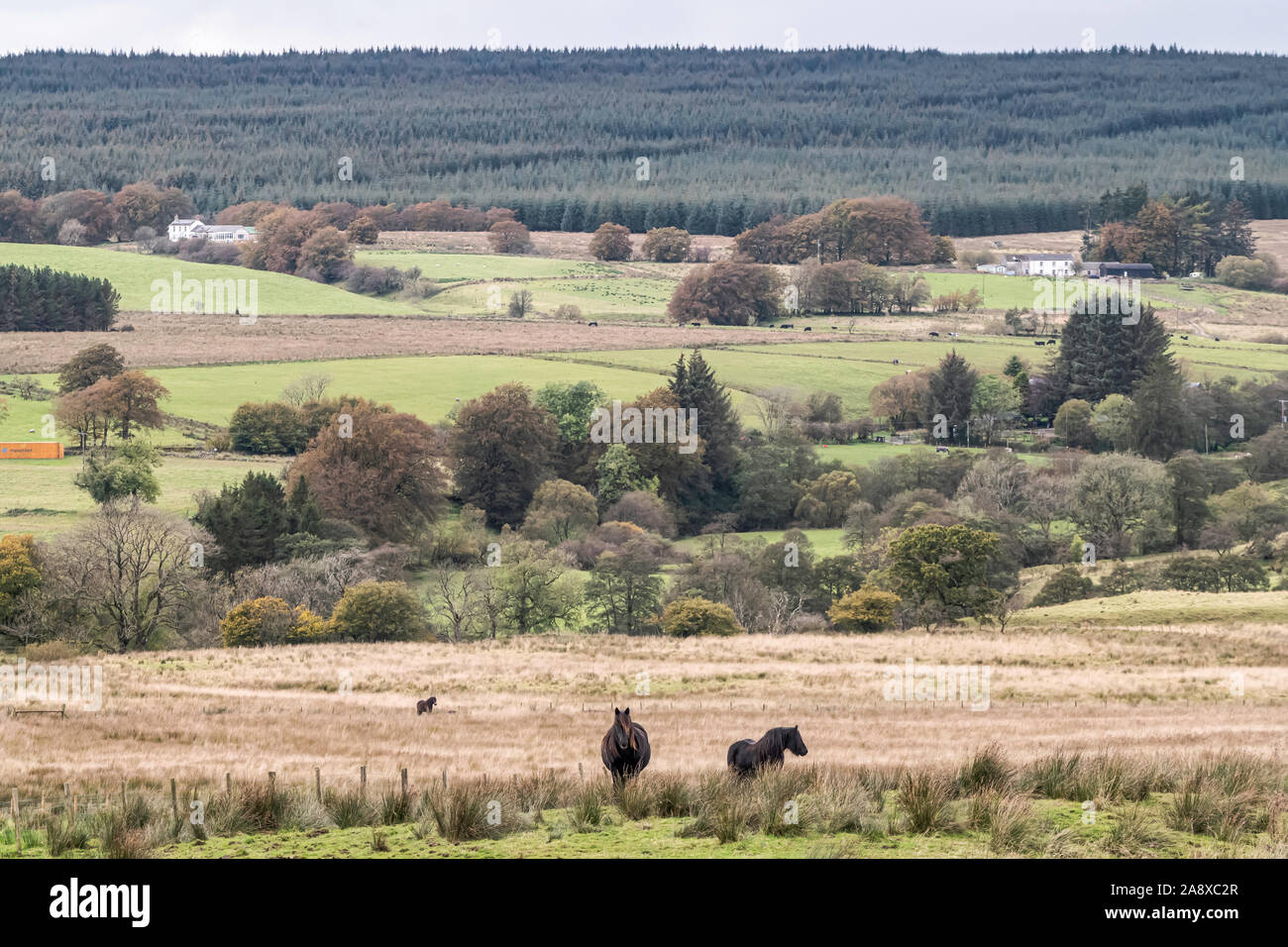 Bewcastle, Carlisle, Cumbria, England, UK. 15th October 2019. Fell ponies graze at Cleughside, just a couple of kilometers inside the English border n Stock Photo