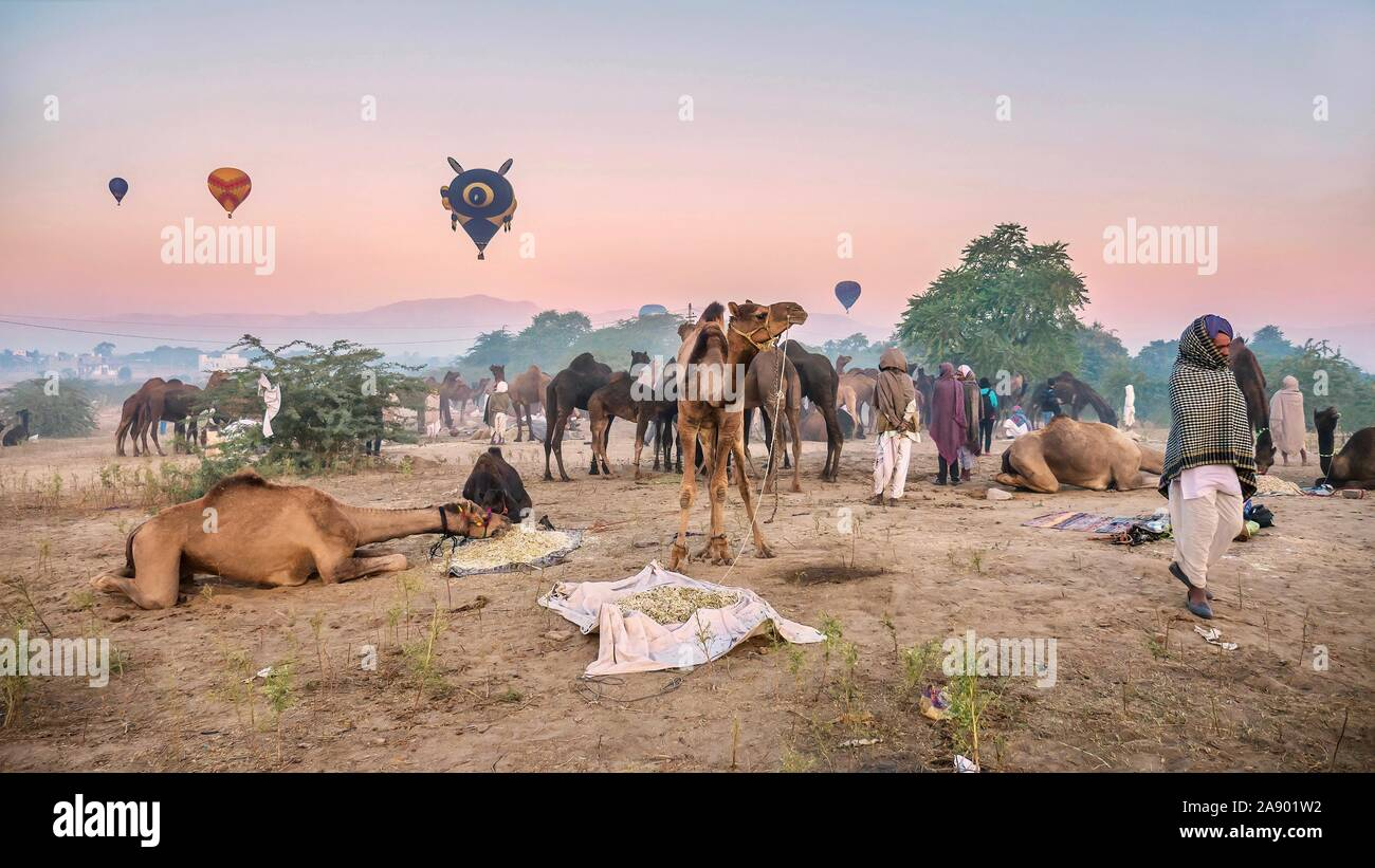 The Pushkar Camel Fair is an annual event in Rajasthan, where camels are bought and sold, and hot air balloons float in the sky at dawn. Stock Photo