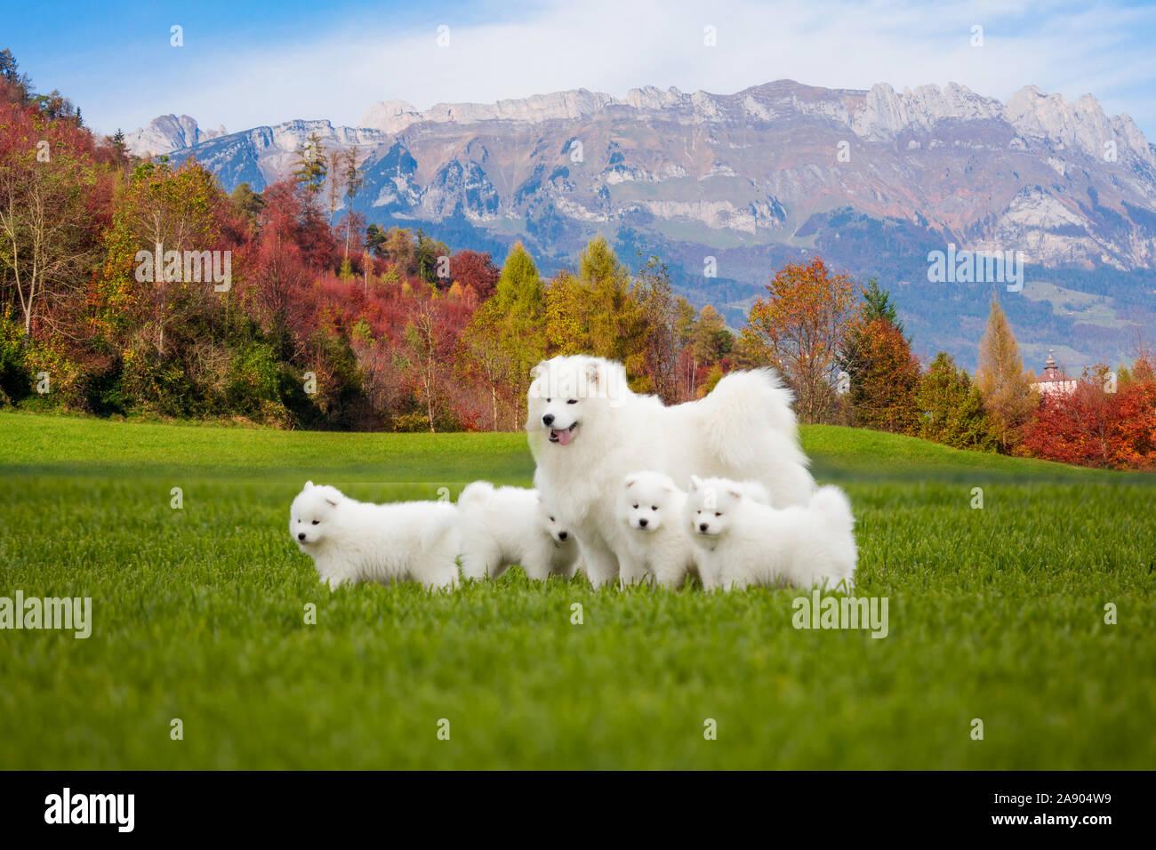 Samoyed Dog With Puppies Portrait Of Beautiful Dogs On Beautiful Landscape Stock Photo Alamy