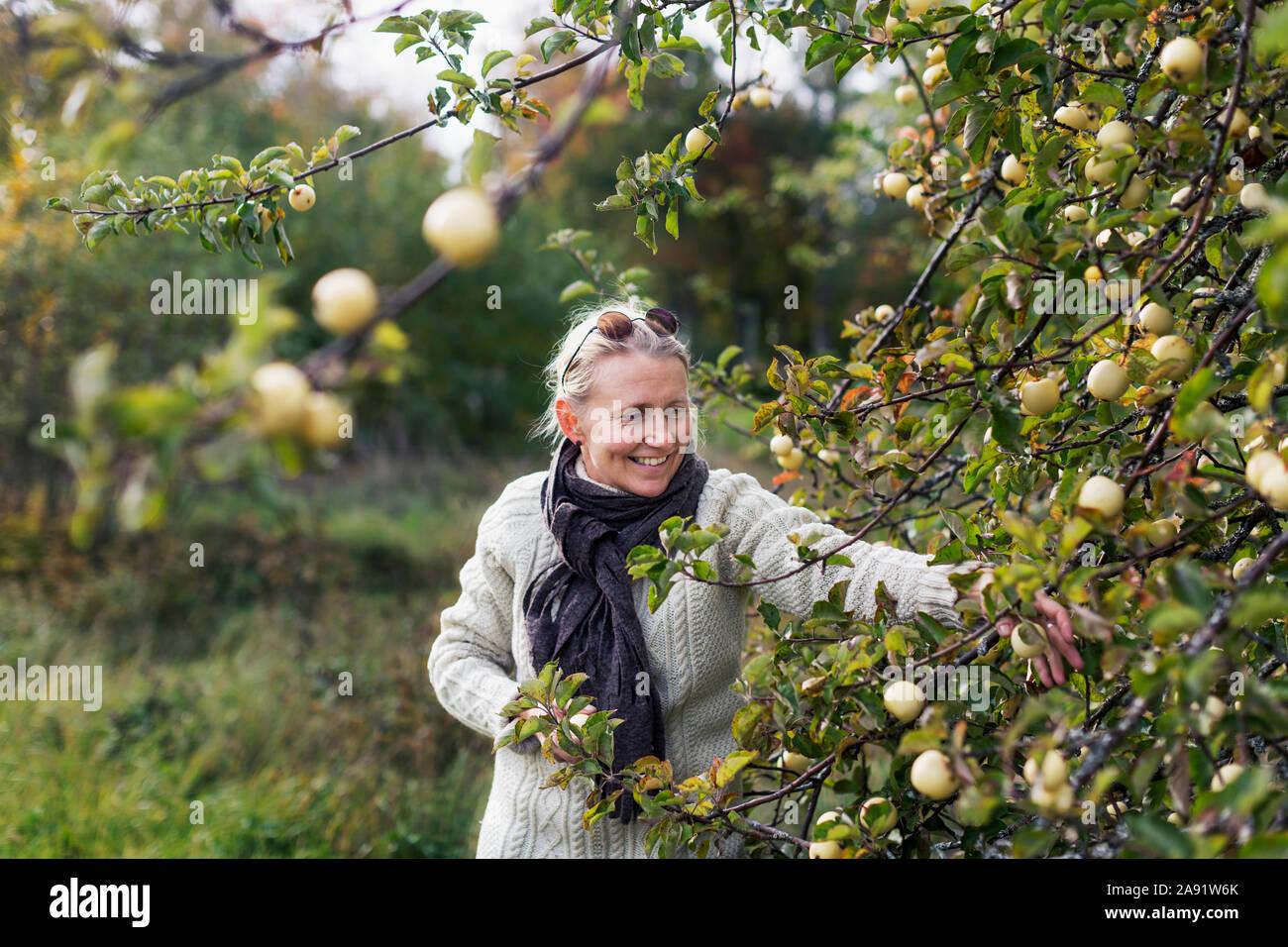 Woman picking apples Stock Photo