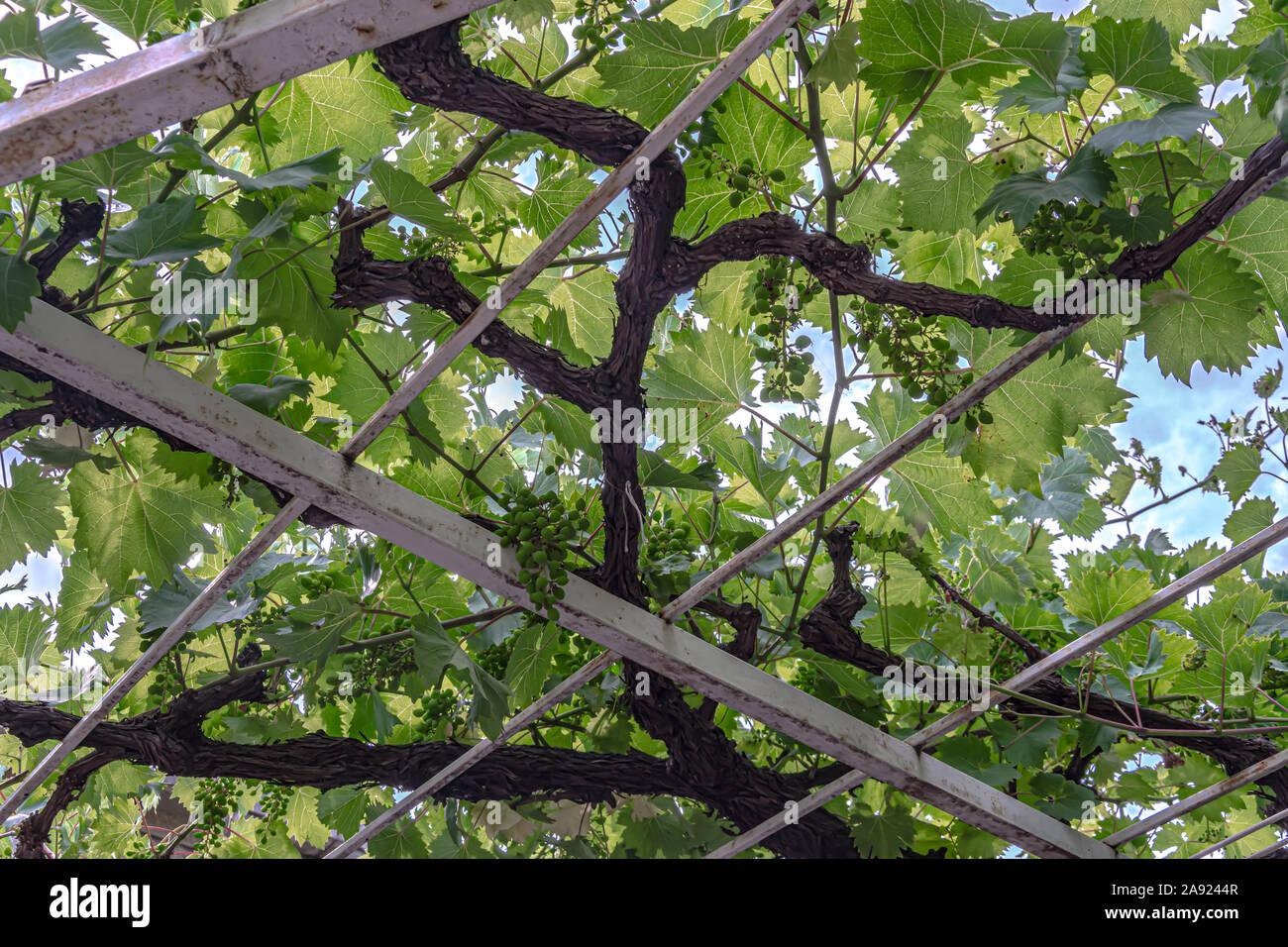 under the vine tree Stock Photo