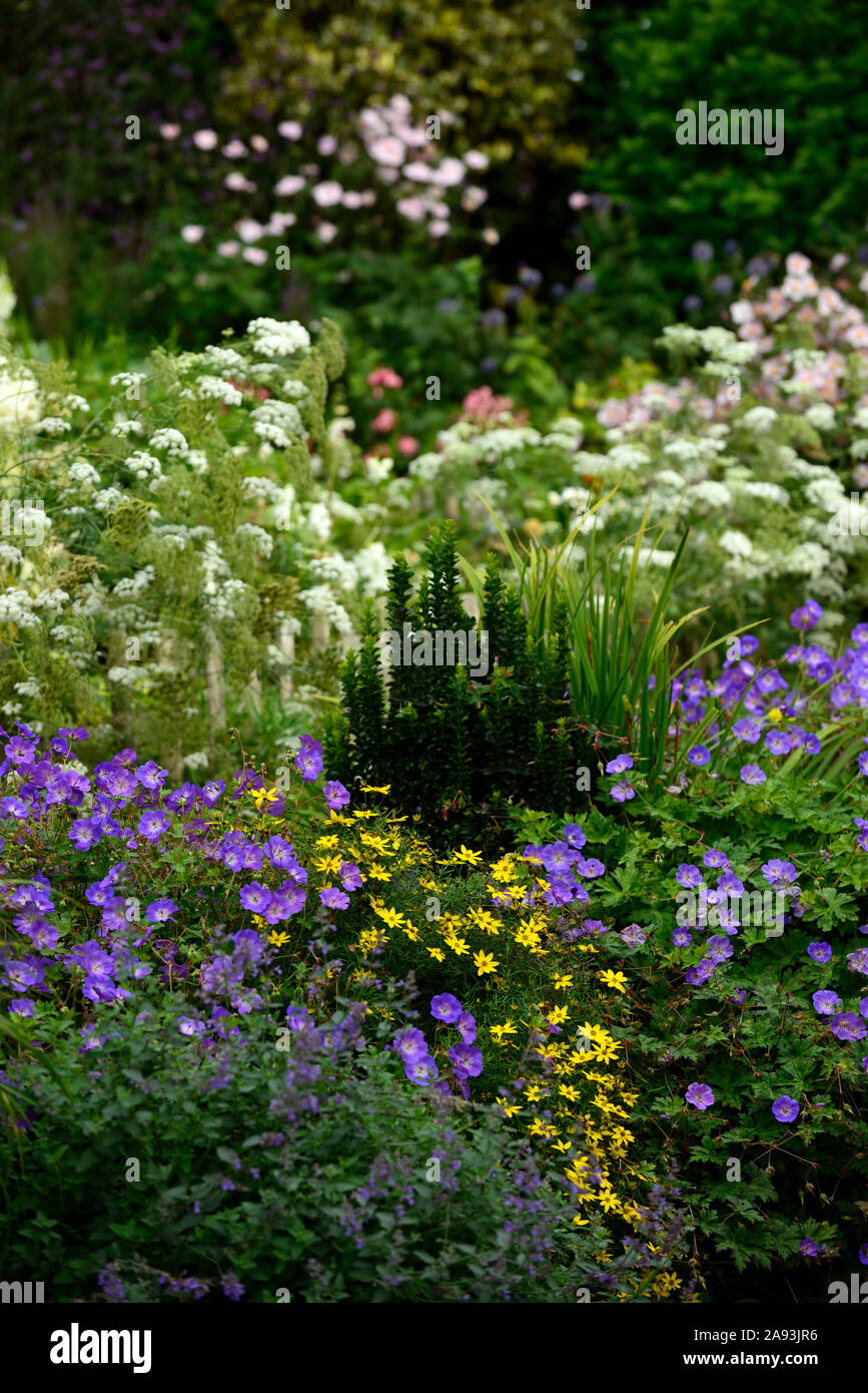 geranium rozanne,coreopsis moonbeam,ammi majus,white,yellow,blue,flower,flowers,flowering,mix,mixed,planting combination,RM Floral Stock Photo