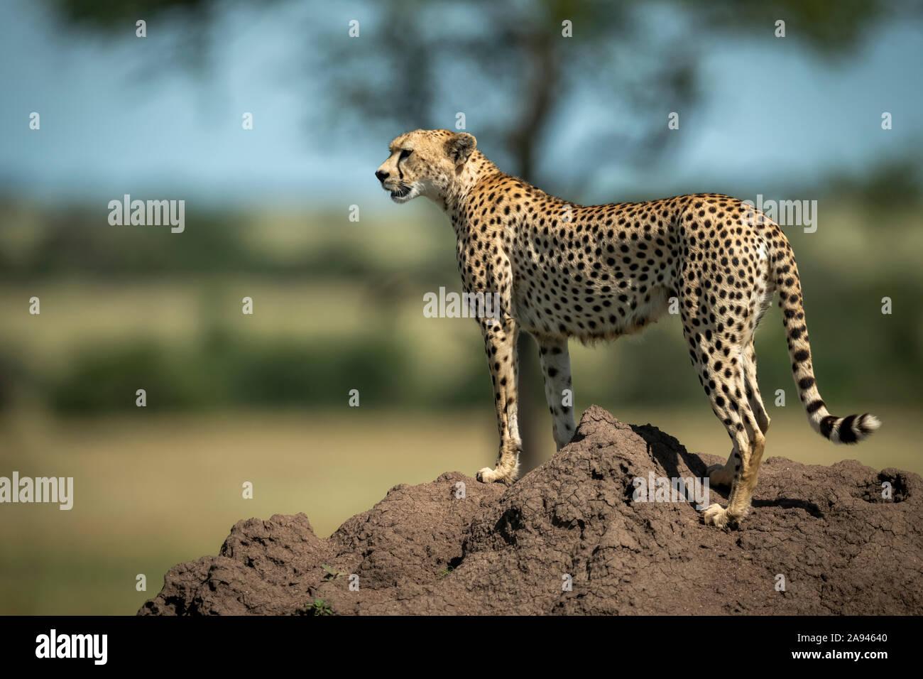 Cheetah (Acinonyx jubatus) stands on termite mound in profile, Grumeti Serengeti Tented Camp, Serengeti National Park; Tanzania Stock Photo