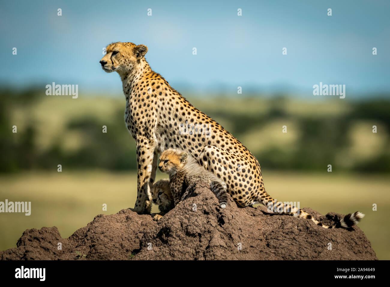 Cheetah (Acinonyx jubatus) with two cubs on termite mound in profile, Grumeti Serengeti Tented Camp, Serengeti National Park; Tanzania Stock Photo