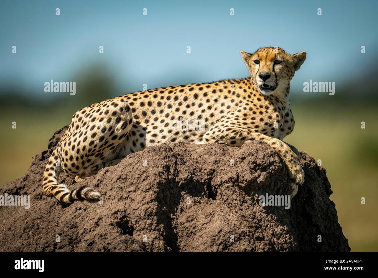 Cheetah (Acinonyx jubatus)  lies on mound with blurred background, Grumeti Serengeti Tented Camp, Serengeti National Park; Tanzania Stock Photo