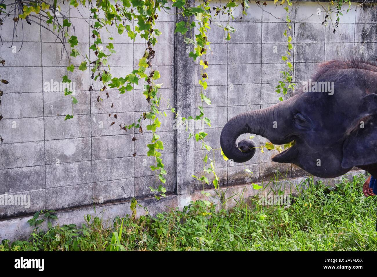 Baby elephant, Elephas maximus, rescued, healing to be reintroduced into the wild, close up view in protected park, Herbivorous animal in Phuket, Thai Stock Photo