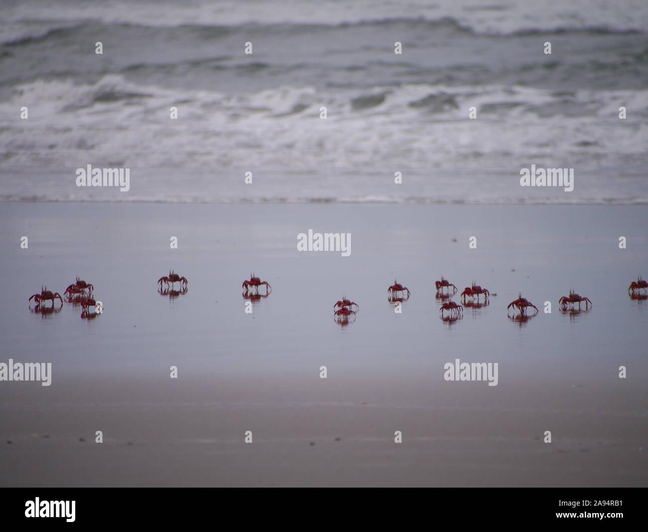 Red Ghost Crabs run through the surf in Cox's Bazar Beach Stock Photo