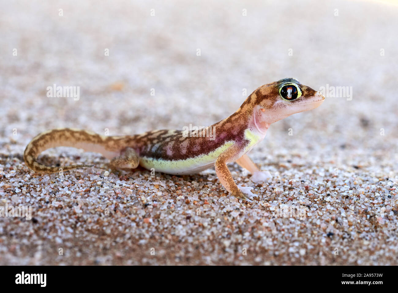 The Namib sand gecko or web-footed gecko (Pachydactylus rangei) photographed in the Dorob National Park, Namibia Stock Photo