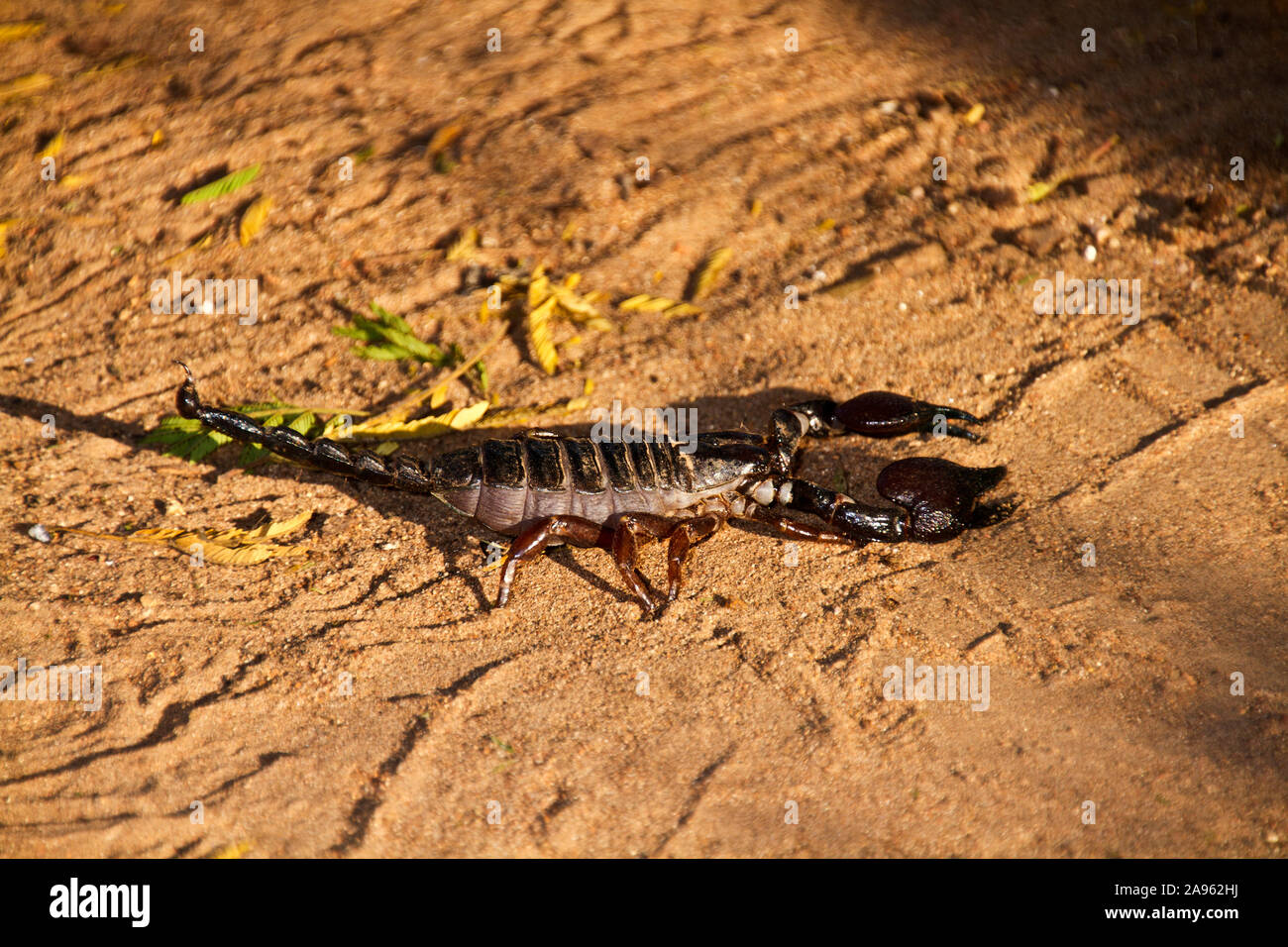 Scorpion deathstalker aus dem negev überwindet das hindernis.
