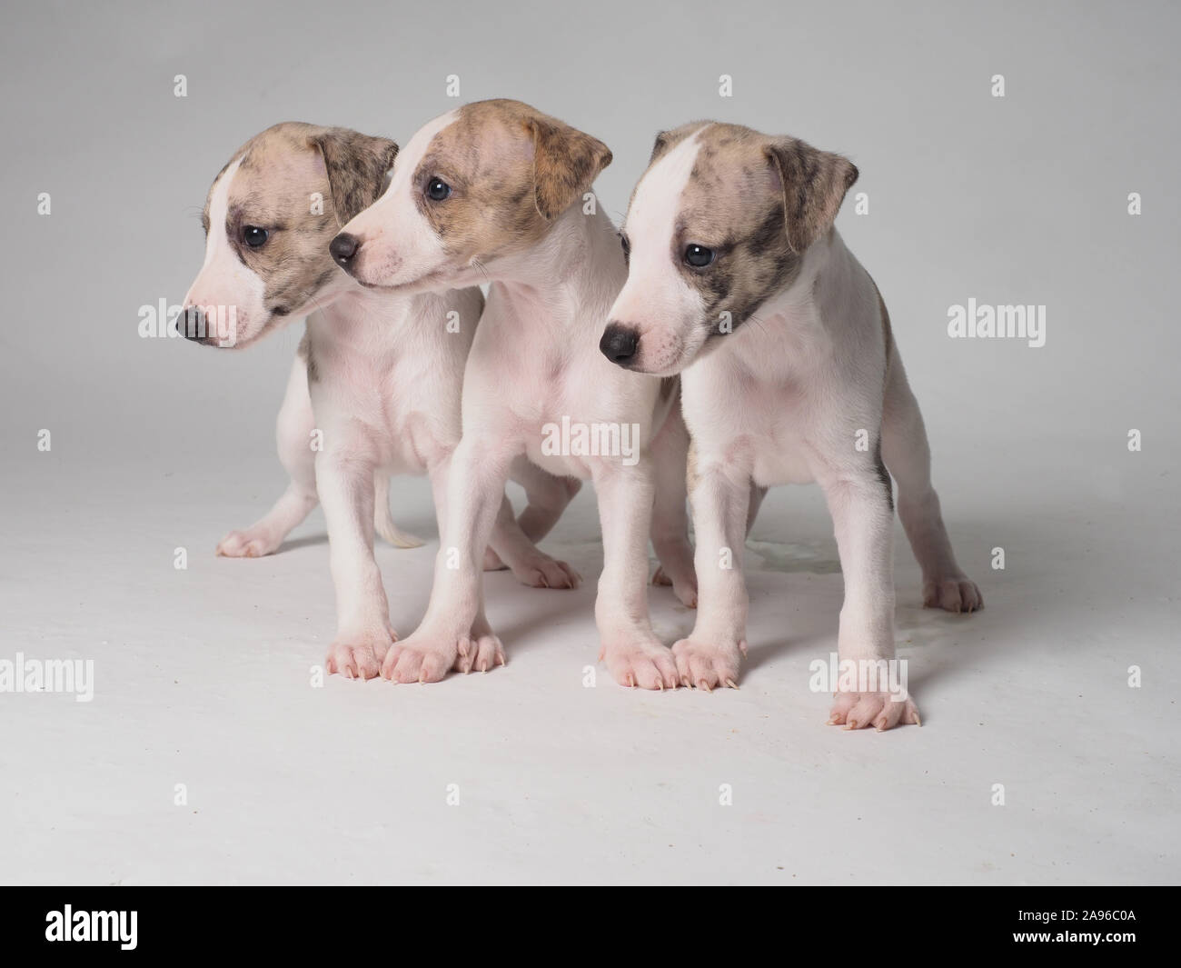 Three puppies of Whippet dog purebred  with 36 days old tabby and white Stock Photo