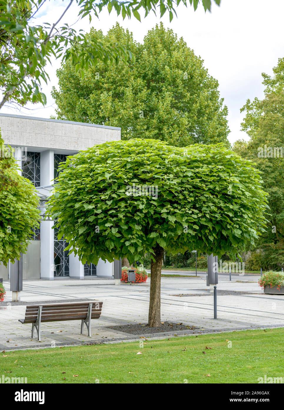 Pflanze Catalpa bignonioides Trompetenbaum