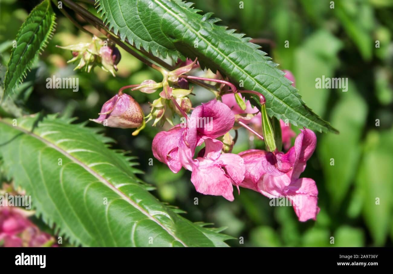 Indian impatiens glandulifera plant close up Stock Photo