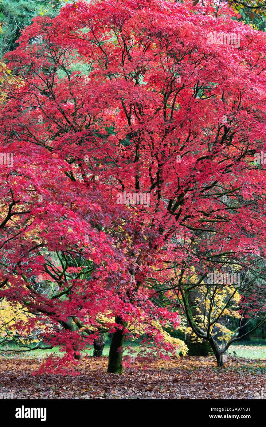 Acer Palmatum Atropurpureum Purple Japanese Maple Trees In