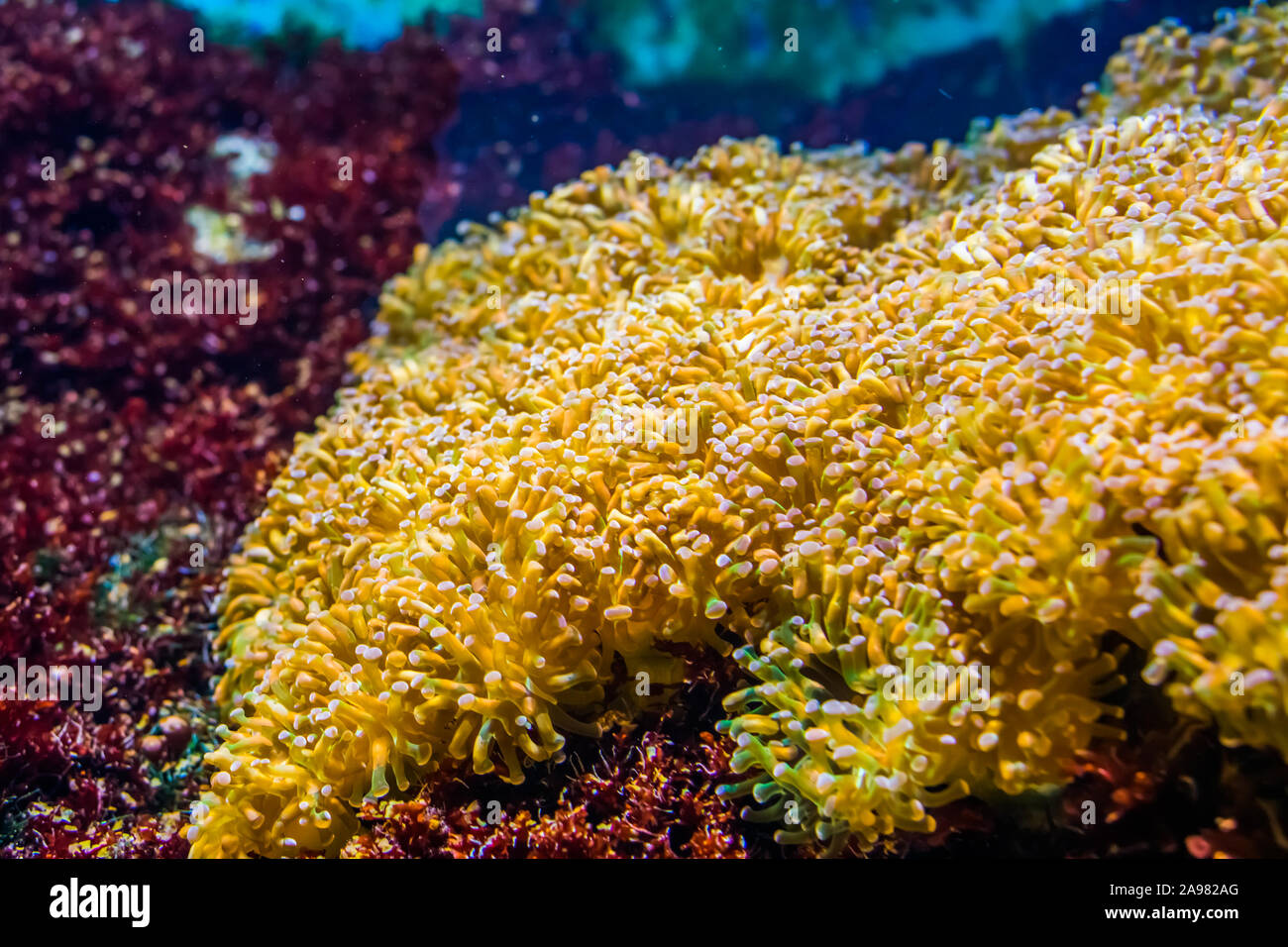 euphyllia sea anemone bed, stony coral specie, popular aquarium pet in aquaculture, marine life background Stock Photo