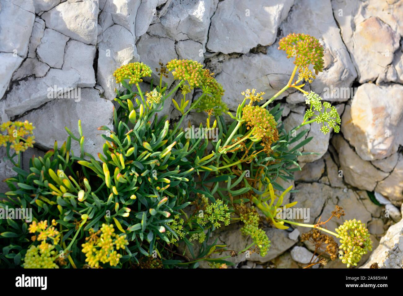 Samphire a flowering plant growing among the limestone rocks on foreshore of Adriatic sea, Croatia Stock Photo