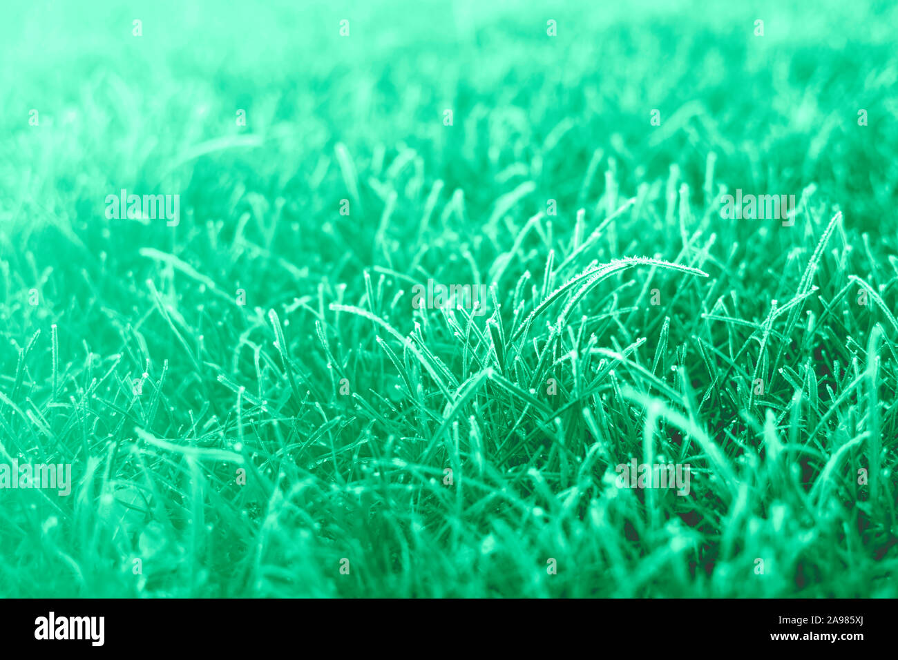 First frosts on green mint grass with beautifully falling light from the sun, late autumn. Natural background. Stock Photo