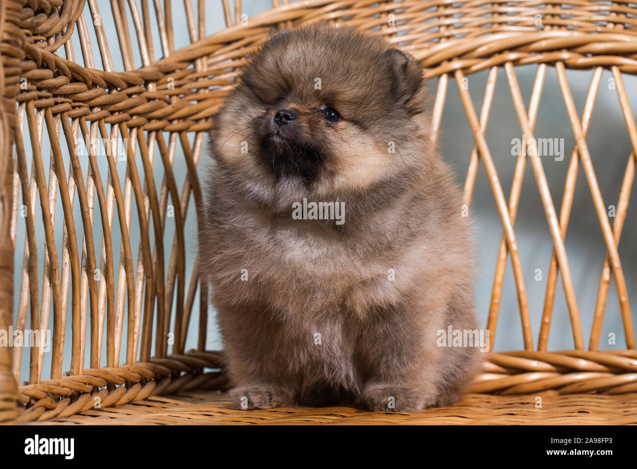 Cute Puppy Of Miniature Pomeranian Spitz Zwergspitz Or Dwarf Spitz On A Chair Small Dog Is Two Month Old Stock Photo Alamy