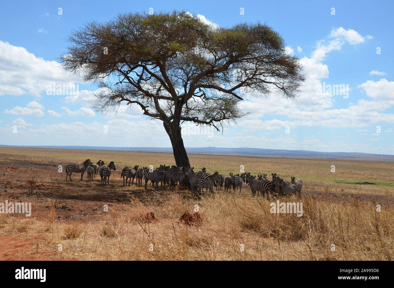 Herd of African zebras standing in the shade of a large tree in Tanzania. Stock Photo