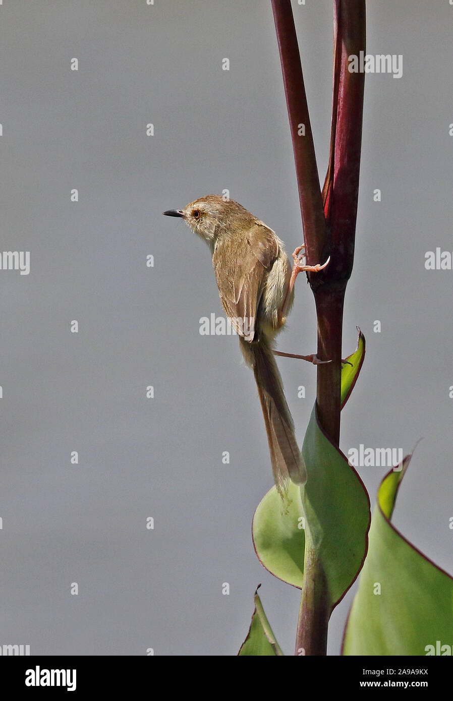 Plain Prinia (Prinia inornata flavirostris) adult clinging to stem Yehliu Peninsula, Taiwan                 April Stock Photo