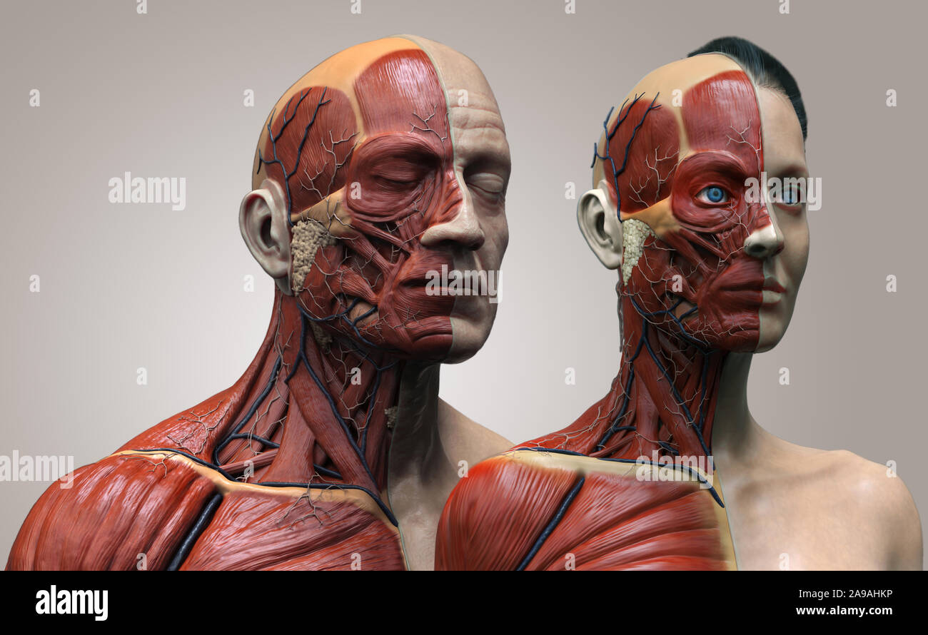 Human body anatomy of the male and female background , muscle anatomy structure of the face neck chest and shoulder ,realistic 3D rendering wallpaper Stock Photo