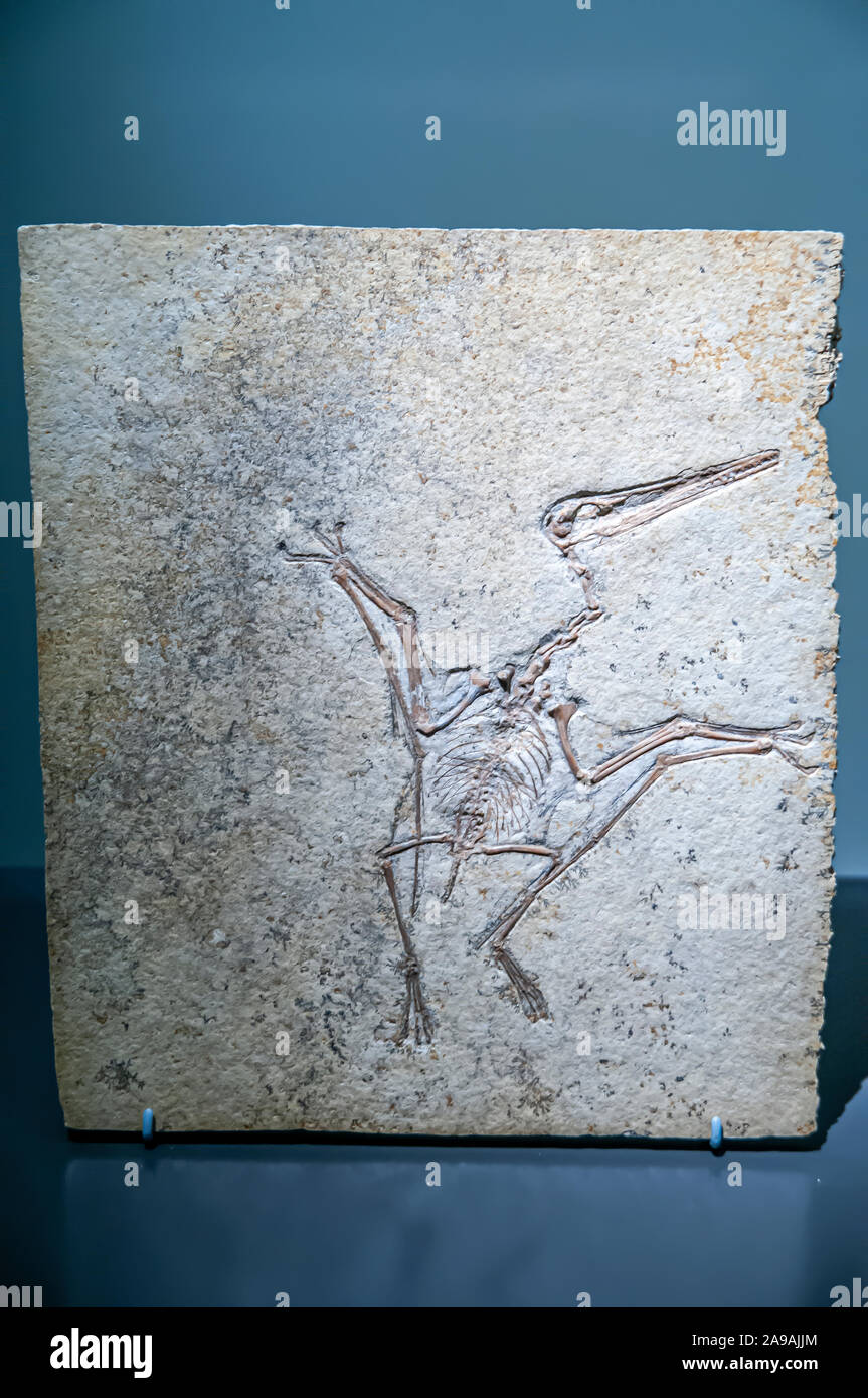 Well preserved Fossil of a Pterodactylus kochi. Pterosaurs are flying reptiles that existed at the same time as the dinosaurs. This one is a pterodact Stock Photo