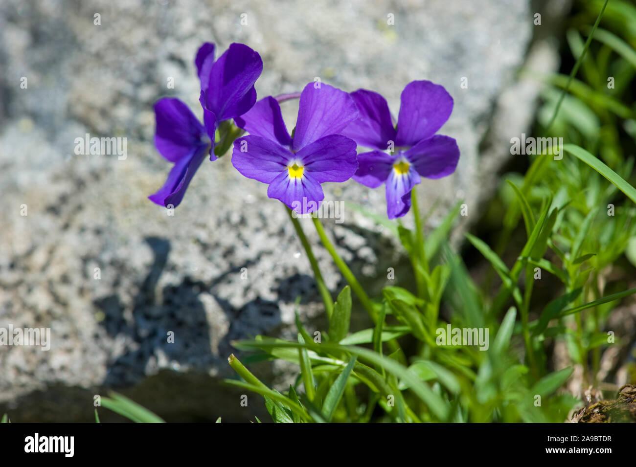 wie lange blühen viola