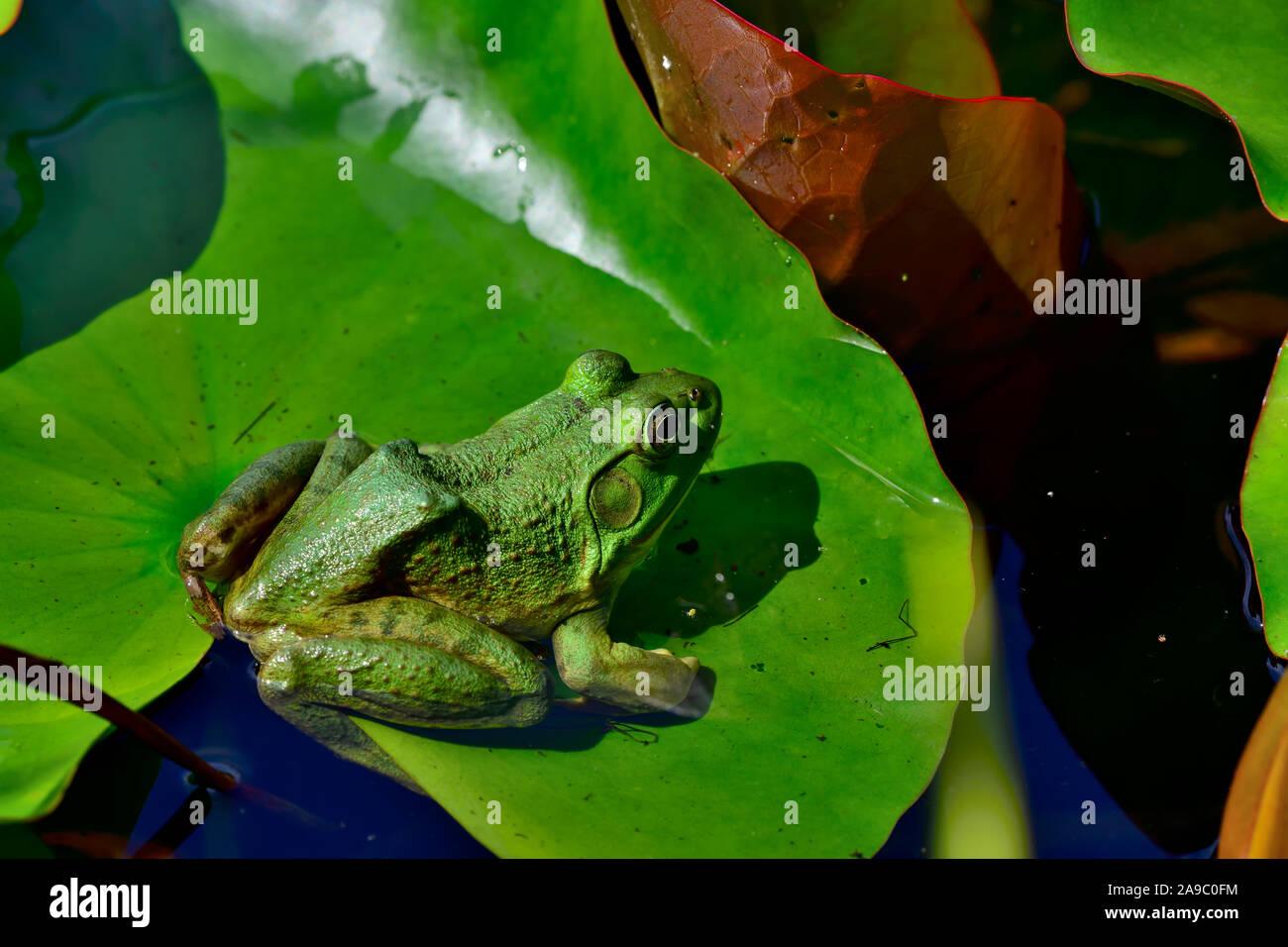 """A green frog """" Lithobates clamitans"""", sitting on a geen lily pad in a pond on Vancouver Island British Columbia, Canada. Stock Photo"""