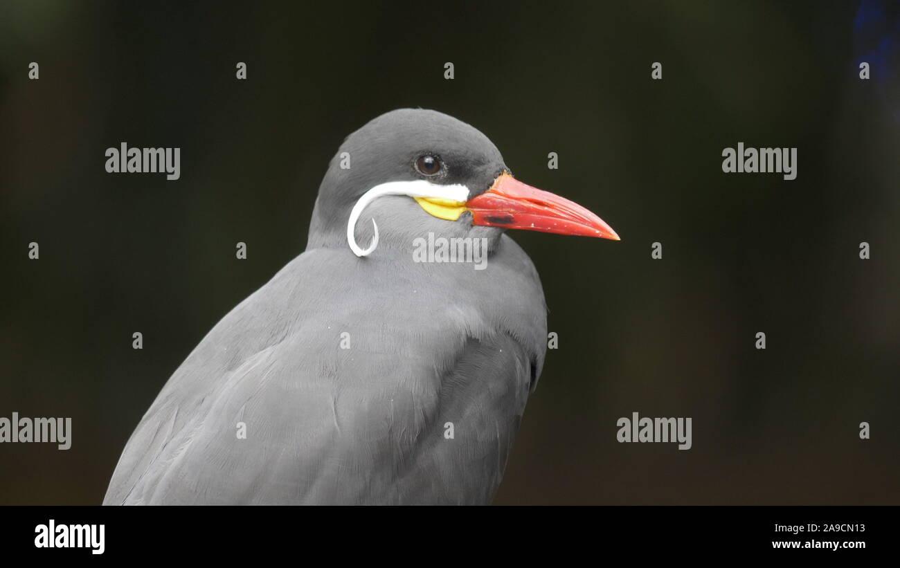 close up shot of an inca tern Stock Photo