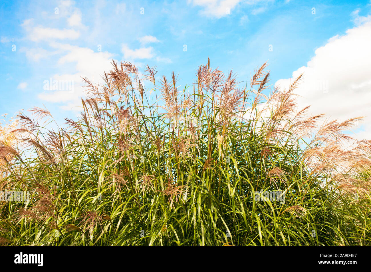Large Clump Of Miscanthus Sinensis Ornamental Grass Growing In A