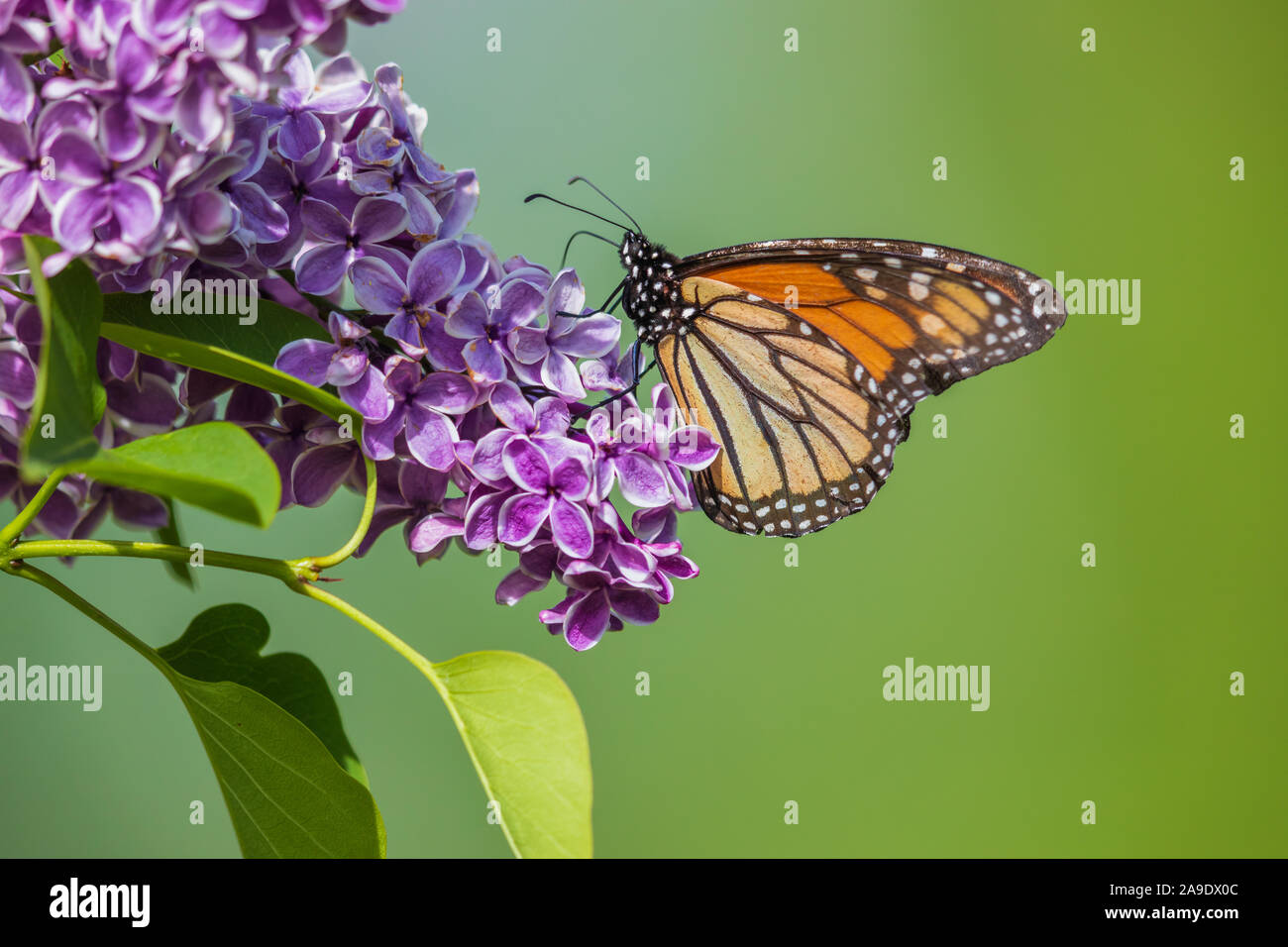 Monarch butterfly on a lilac bush in northern Wisconsin. Stock Photo