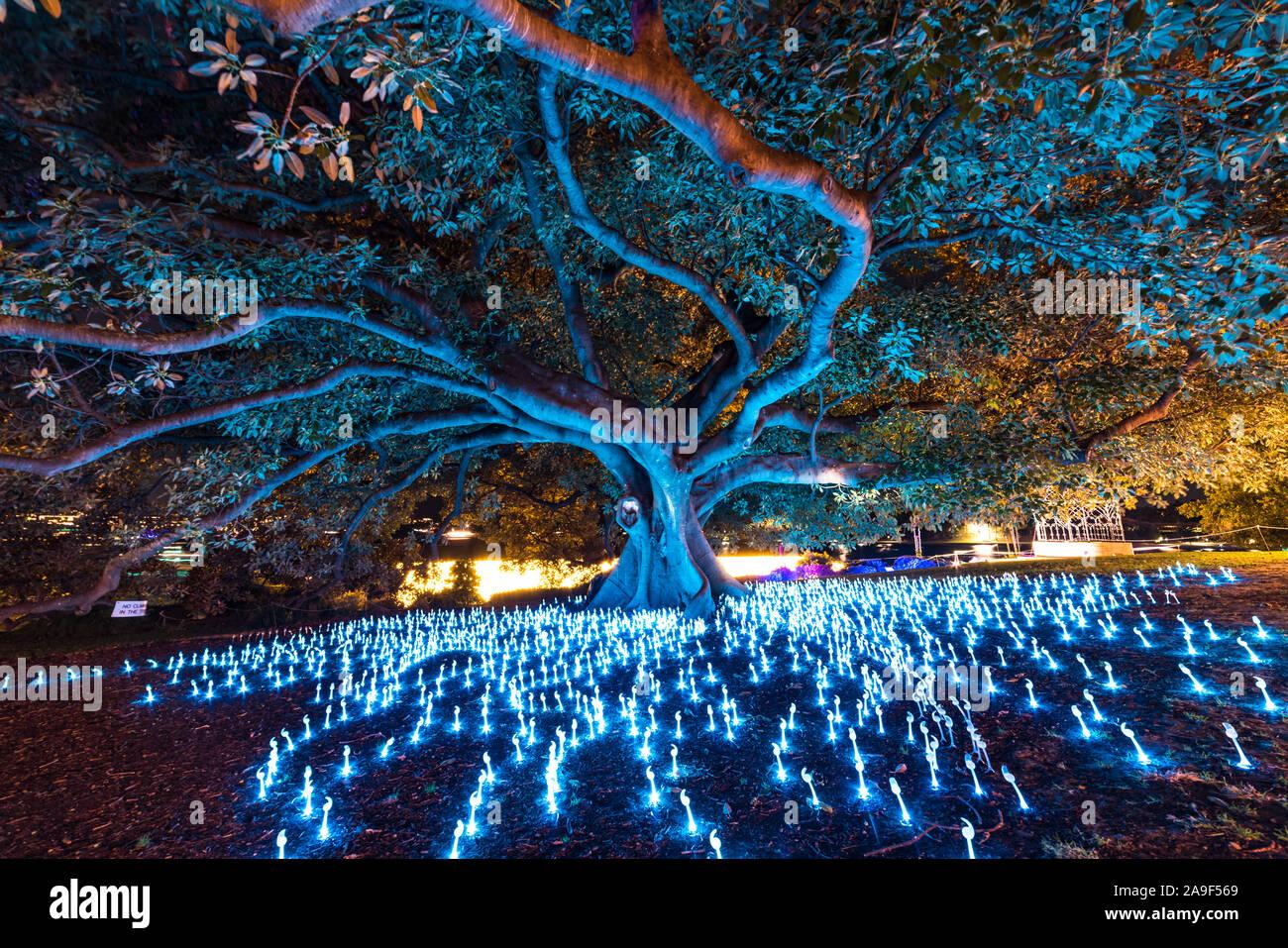 Sydney, Australia - May 27, 2016: Vivid Sydney 2016 light festival illumination of eucalyptus tree Will o Wisps Stock Photo