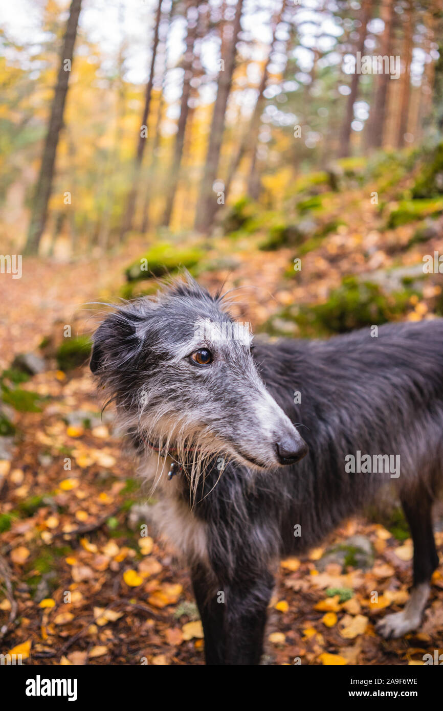 Portrait of a black and white greyhound in a birch grove in autumn Stock Photo
