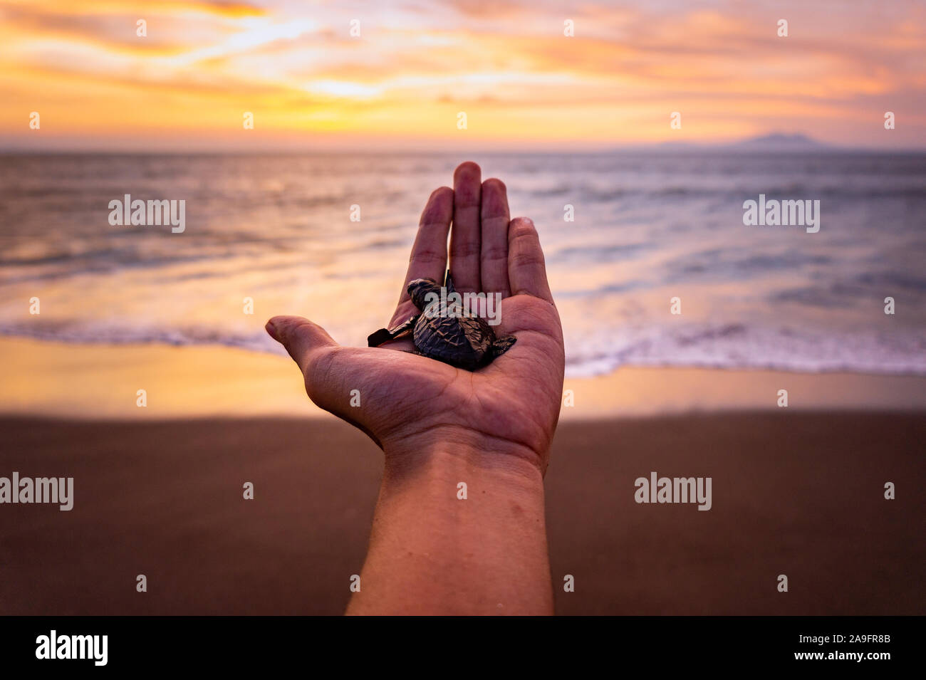 hand holding baby turttle on the beach Stock Photo