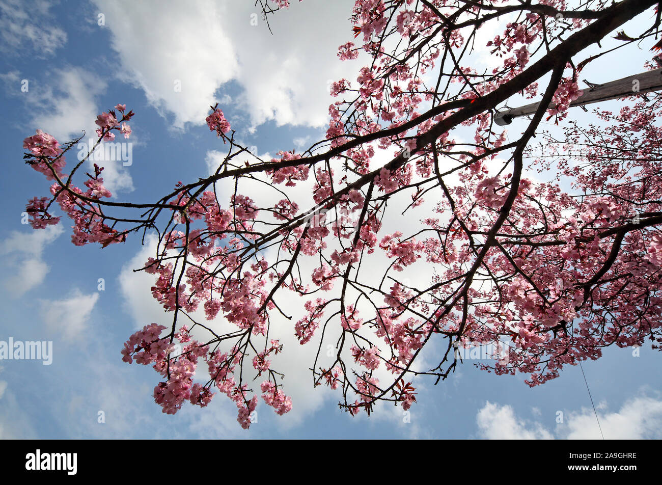 Spring pink Cherry Blossom, Cheshire, England Stock Photo