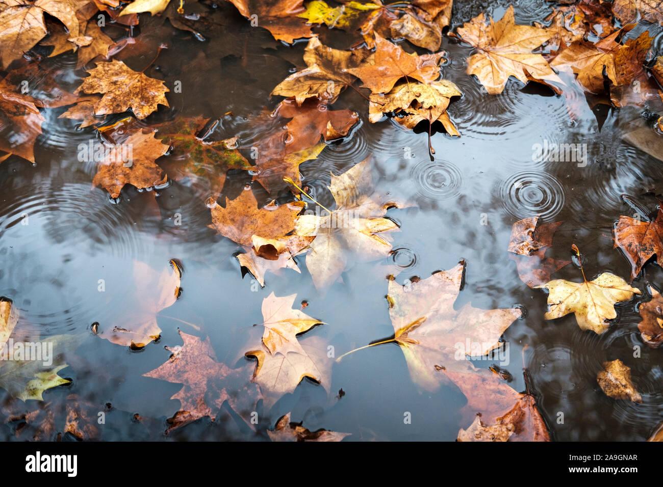rain puddle and fallen leaves,End of Novemebr, London,UK Stock Photo
