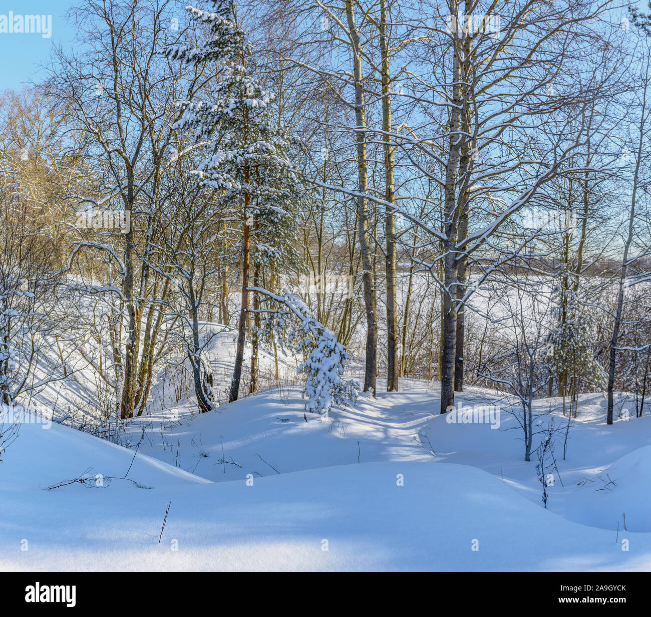 Winter Sunny day in the forest. A lot of snow on the ground and trees. Stock Photo