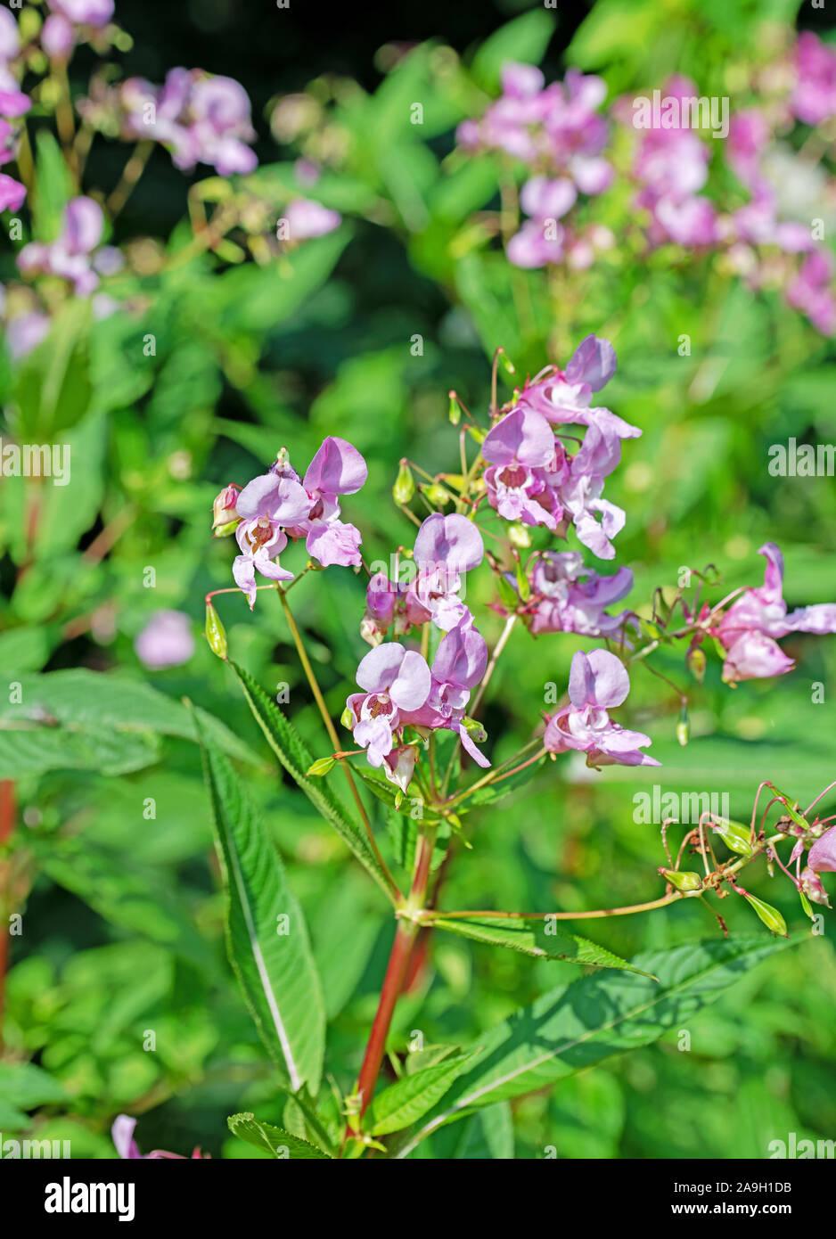 Blossoming balsam,impatiens glandulifera Stock Photo
