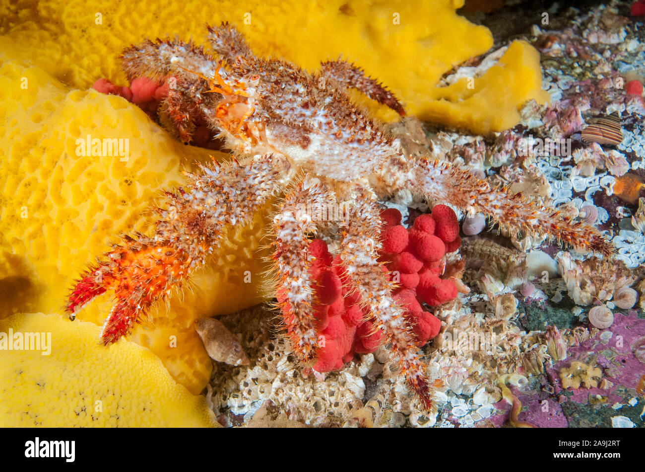hairy spined crab, Acantholithodes hispidus, walking over sulfur sponge, Myxilla lacunosa, red soft coral, Alcyonum species, and acorn barnacles, Brow Stock Photo