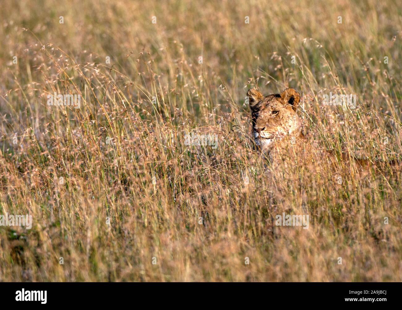 Löwin (Panthera leo) Stock Photo