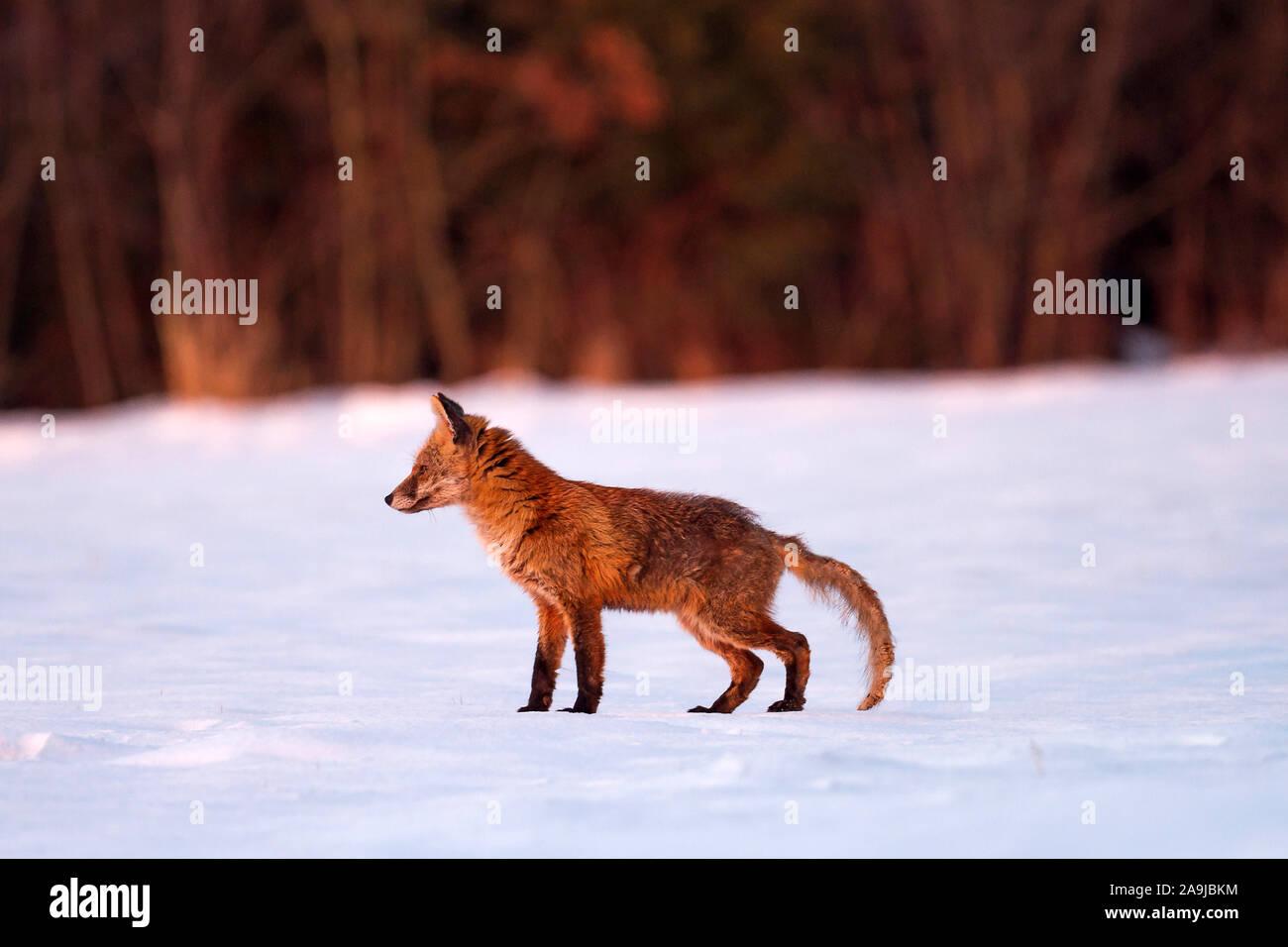 Fuchs (Vulpes vulpes) Stock Photo