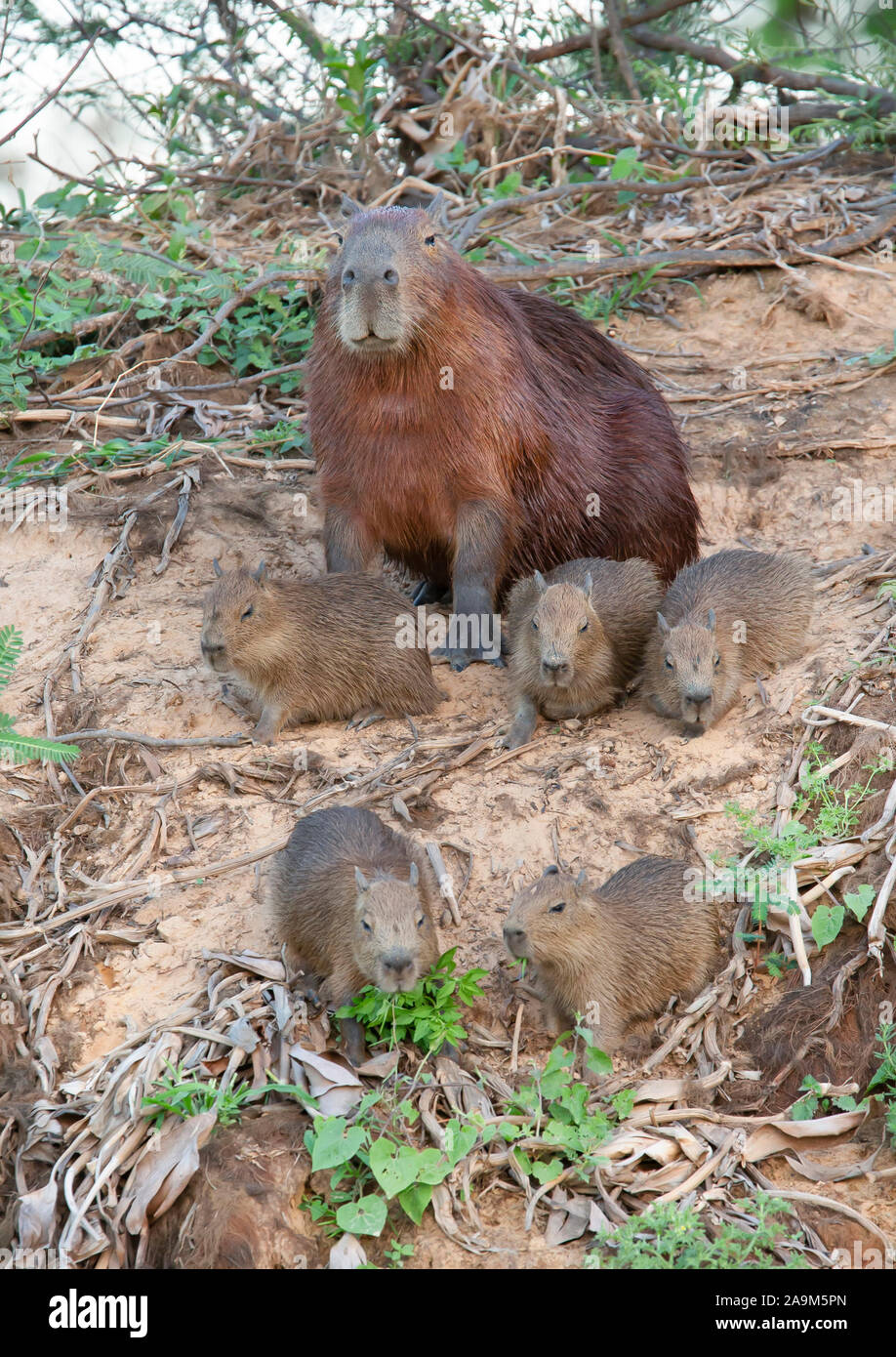 Close up of Capybara mother with five babies, sitting on a river bank, North Pantanal, Brazil. Stock Photo
