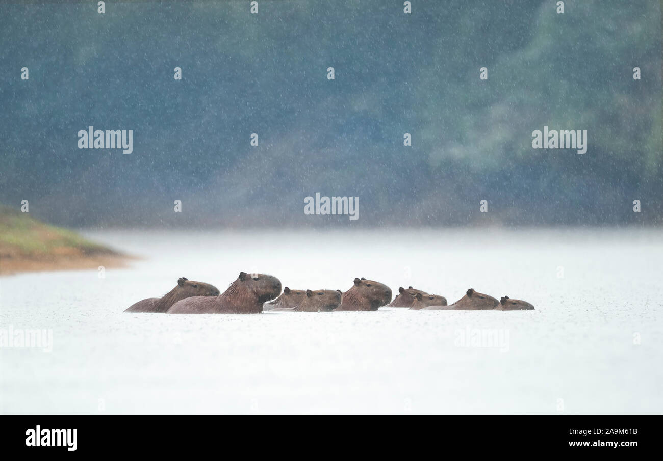 Group of Capybaras swimming in a river in the rain, North Pantanal, Brazil. Stock Photo