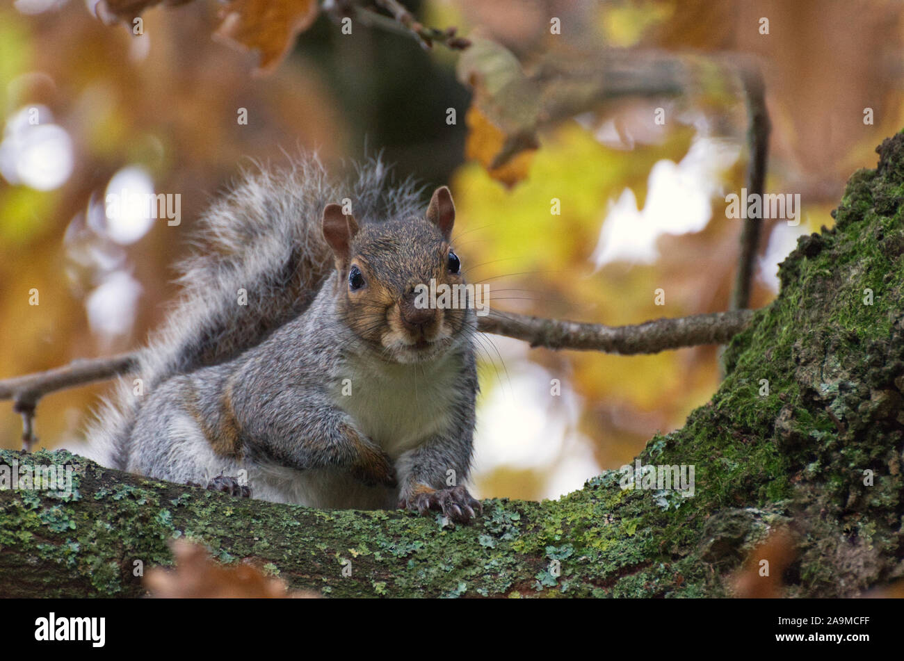 A friendly grey squirrel looking down inquisitively at me from his Autumn oak tree branch Stock Photo